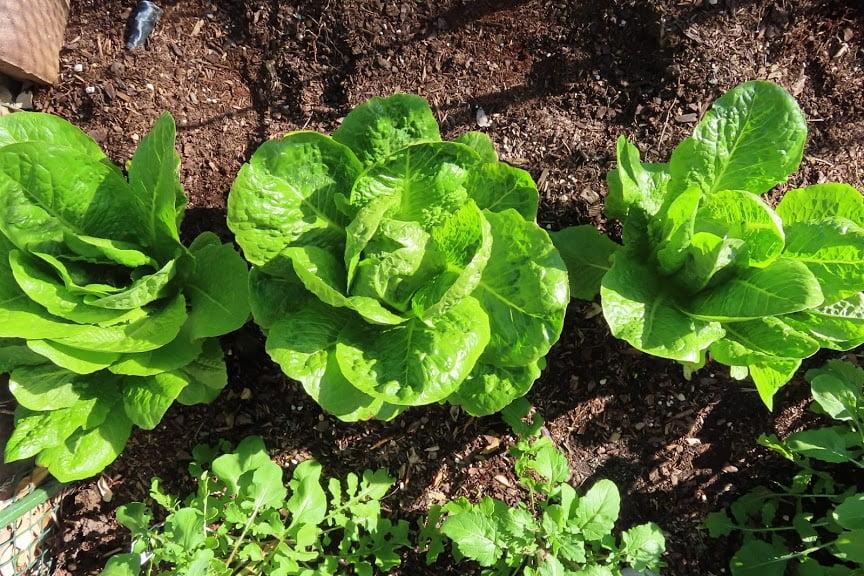 Three heads of romaine lettuce  - 20200305162455 IMG 0074 1 - March Garden Update