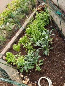 March 14th (Pie Day!) garden shot after 4 days of rain in the valley.  - 20200313 174601 225x300 - April Garden Update