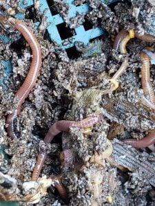 - 20200125 155010 225x300 - June Garden Update | Compost Worms